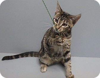Domestic Shorthair Cat for adoption in Seguin, Texas - Paisley