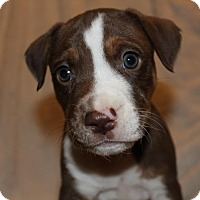 American Pit Bull Terrier Puppy for adoption in Edina, Minnesota - Tauros D161617: PENDING ADOPTION