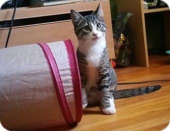 Domestic Shorthair Kitten for adoption in Whitehall, Pennsylvania - Jinx
