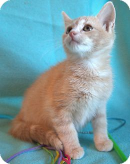 Domestic Shorthair Kitten for adoption in Staunton, Virginia - Phil
