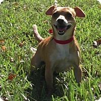 Adopt A Pet :: Roxie II - Tampa, FL