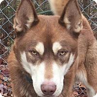 Adopt A Pet :: Bear - Washington, DC