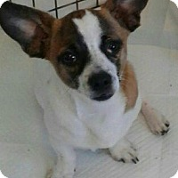 Welsh Corgi/Dachshund Mix Puppy for adoption in Okeechobee, Florida - Sport
