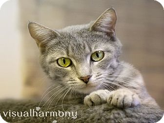 Domestic Shorthair Cat for adoption in Phoenix, Arizona - Cupcake