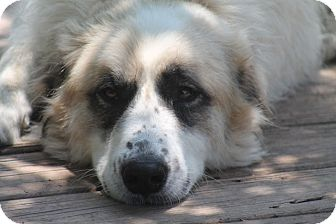 Great Pyrenees/Anatolian Shepherd Mix Dog for adoption in Austin, Texas - Blossom