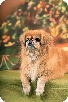 Pekingese/Pomeranian Mix Dog for adoption in Portland, Maine - Paris