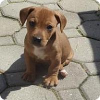 Adopt A Pet :: baby Kip - Marlton, NJ