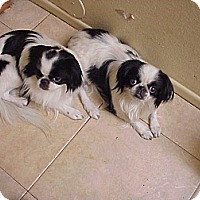 Adopt A Pet :: OREO///////// GJ - Cathedral City, CA
