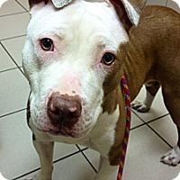 Adopt A Pet :: Nova - Muskegon, MI