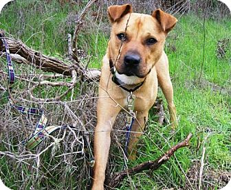 Black Mouth Cur Mix Dog for adoption in Lompoc, California - Luke