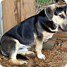 Adopt A Pet :: SAMSON-FOSTER NEEDED
