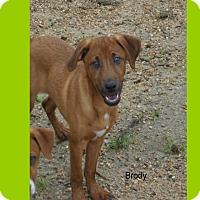 Adopt A Pet :: Brody in CT - Manchester, CT
