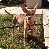 Adopt A Pet :: Cysco - Buena Park, CA