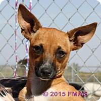 Chihuahua Mix Dog for adoption in Madera, California - Sally 1290/Bay Area Foster