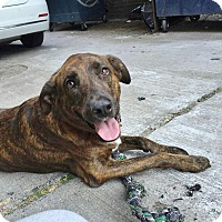 Adopt A Pet :: Brooklyn - Brooklyn, NY