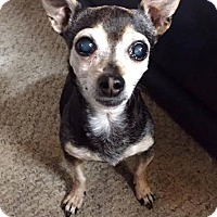 Chihuahua Mix Dog for adoption in San Diego, California - Contessa