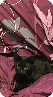 Domestic Shorthair Cat for adoption in Davison, Michigan - Opal