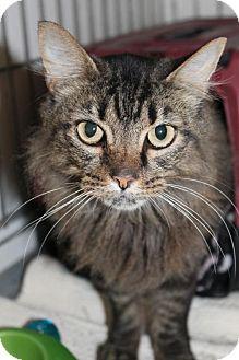 Maine Coon Cat for adoption in Cincinnati, Ohio - Shizzle