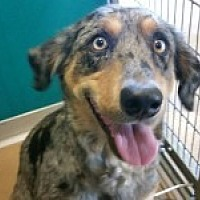 Australian Shepherd Mix Dog for adoption in Katy, Texas - Caitlyn