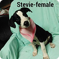 Border Collie/Labrador Retriever Mix Puppy for adoption in Burlington, Vermont - Stevie
