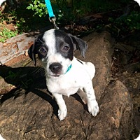 Adopt A Pet :: Penelope (RBF) - Spring Valley, NY