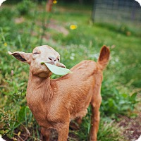 Goat for adoption in Maple Valley, Washington - Millie, Grady & Ramsey