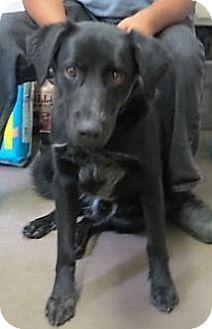 Labrador Retriever Mix Dog for adoption in Monte Vista, Colorado - Soldier