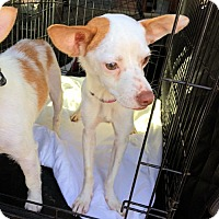 Chihuahua Mix Dog for adoption in Cherry Hill, New Jersey - Rosy