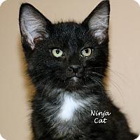 Domestic Shorthair Kitten for adoption in Idaho Falls, Idaho - Ninja Furry/Cat