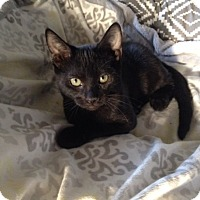 Domestic Shorthair Kitten for adoption in Studio City, California - Adam