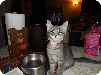 Domestic Shorthair Kitten for adoption in Northfield, Ohio - Madison