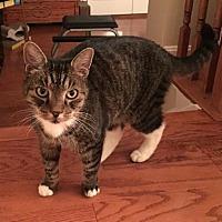 Domestic Shorthair Cat for adoption in Herndon, Virginia - Broffie