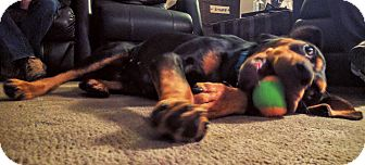 Black and Tan Coonhound/Doberman Pinscher Mix Dog for adoption in Lombard, Illinois - Bonnie