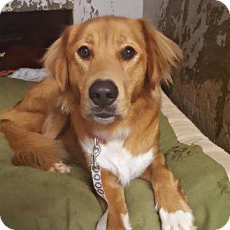 Golden Retriever Mix Dog for adoption in Austin, Texas - Huggy