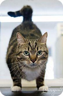Domestic Shorthair Cat for adoption in Palm Harbor, Florida - Scarlett