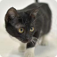 Adopt A Pet :: Taz - St. Louis, MO