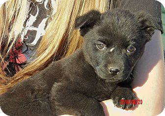 German Shepherd Dog/Akita Mix Puppy for adoption in West Sand Lake, New York - Midnight (6 lb) Video!