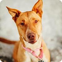Adopt A Pet :: Sheba - Buena Vista, CO