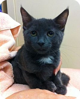 Domestic Shorthair Kitten for adoption in Reston, Virginia - Tami