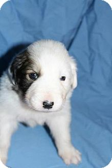 Great Pyrenees Mix Puppy for adoption in Stilwell, Oklahoma - Finn