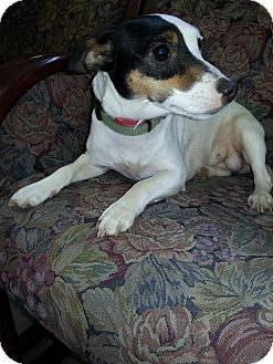 Jack Russell Terrier Dog for adoption in Crawfordville, Florida - Sasha