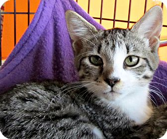 Domestic Shorthair Kitten for adoption in Seminole, Florida - Dylan