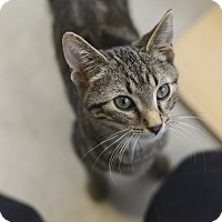 Adopt A Pet :: Shere Khan - Chicago, IL