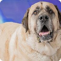 Adopt A Pet :: Moose - Edmond, OK