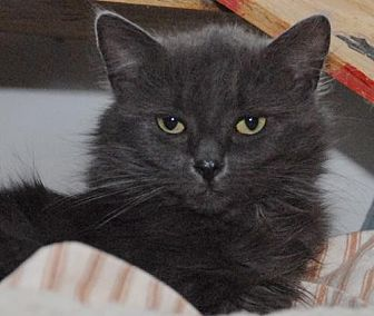 Domestic Mediumhair Cat for adoption in Jaffrey, New Hampshire - Sasha