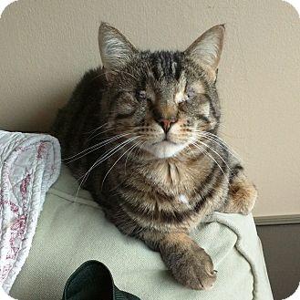 Domestic Shorthair Cat for adoption in Toronto, Ontario - Claude *blind*