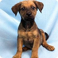 Adopt A Pet :: DANIELLA - Westminster, CO