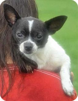 Chihuahua Mix Dog for adoption in Boston, Massachusetts - Harry Potter
