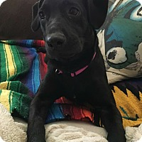 Labrador Retriever Mix Dog for adoption in oklahoma city, Oklahoma - Bella