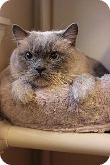 Domestic Shorthair Cat for adoption in Boise, Idaho - Finnegan